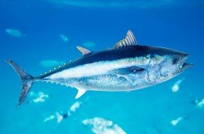 Makrellstørje, arts-illustrasjon. Foto: © lunamarina / shutterstock.com